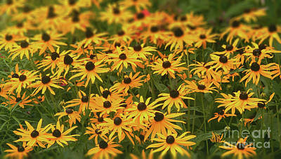Photograph - Field Of Black-eyed Susans by Dave Nevue