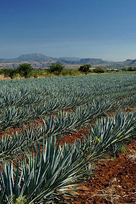 Photograph - Field Of Blue Agave by Tina Ernspiker
