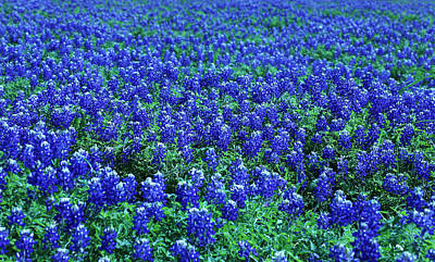 Photograph - Field Of Blue by Judy Vincent