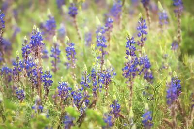 Photograph - Field Of Blue Lupines  by Saija Lehtonen