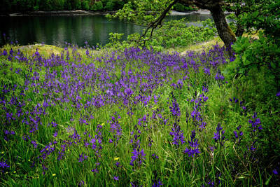 Photograph - Field Of Camas by Inge Riis McDonald