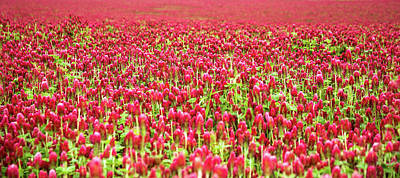 Photograph - Field Of Clover by Marius Sipa