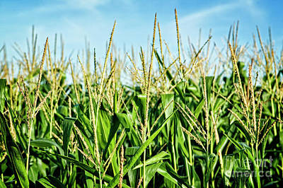Photograph - Field Of Corn by Scott Kemper