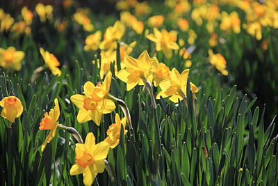 Photograph - Field Of Daffodils  by Angela Murdock