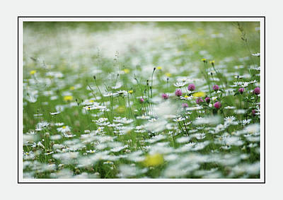 Photograph - Field Of Daisies And Green Foliage by Georgiana Romanovna