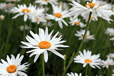 Photograph - Field Of Daisies by Dorothy Cunningham
