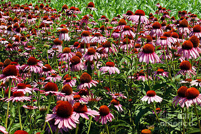 Photograph - Field Of Echinacea by Clayton Bruster