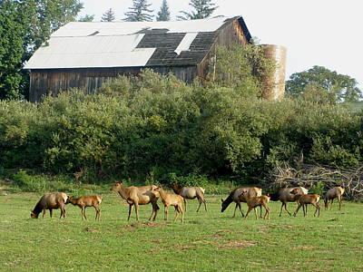 Field Of Elk Art Print by Jeanette Oberholtzer