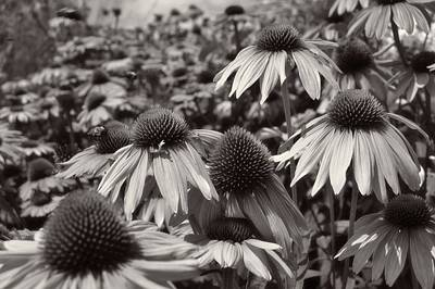Photograph - Field Of Flowers Bw by Charles HALL