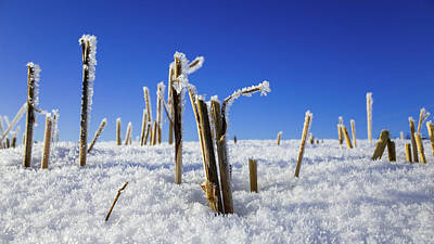 Photograph - Field Of Frosty Straws by Ismo Raisanen