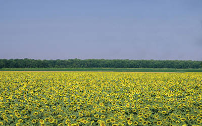 Photograph - Field Of Giant Sunflowers by Alexandre Rotenberg