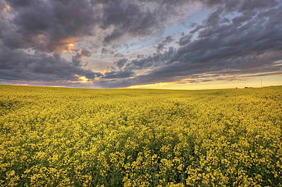 Photograph - Field Of Gold by Dan Jurak