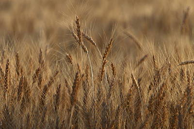 Photograph - Field Of Gold by David Andersen