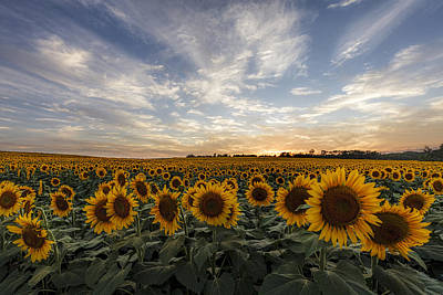 Sunflowers Royalty-Free and Rights-Managed Images - Field of Gold by Scott Bean