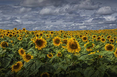 Photograph - Field Of Golden Sunflowers Against A Cloudy Blue Sky by Randall Nyhof