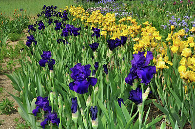 Photograph - Field Of Iris by Diane Lent