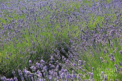 Photograph - Field Of Lavender Blue by Dora Sofia Caputo Photographic Art and Design