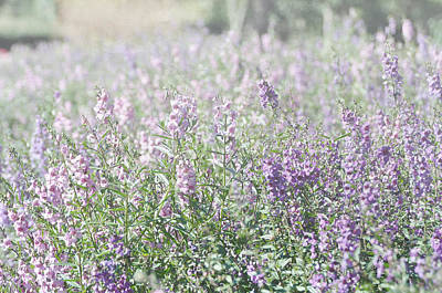 Photograph - Field Of Lavender Flowers by Beverly Cazzell