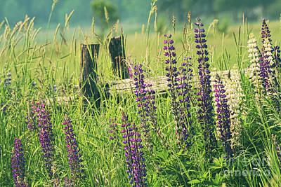 Field Of Lupin Flowers  Art Print by Sandra Cunningham