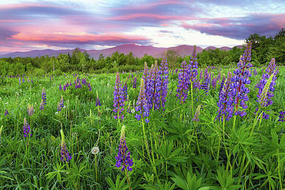 Photograph - Field Of Lupine by Robert Clifford
