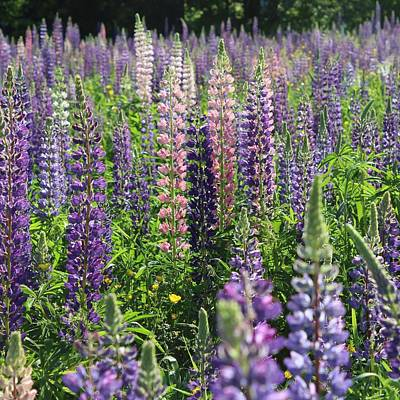 Field Of Lupines Square Art Print