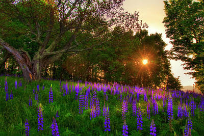 Photograph - Field Of Lupines - Sugar Hill, Nh by Joann Vitali