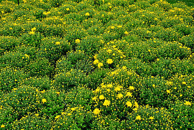 Photograph - Field Of Mums by Robert Meyers-Lussier