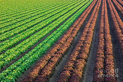 Field Of Organic Lettuce Art Print by Inga Spence