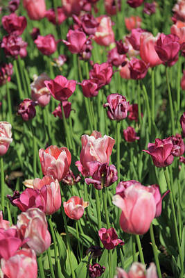 Photograph - Field Of Pink Tulips by Angela Murdock