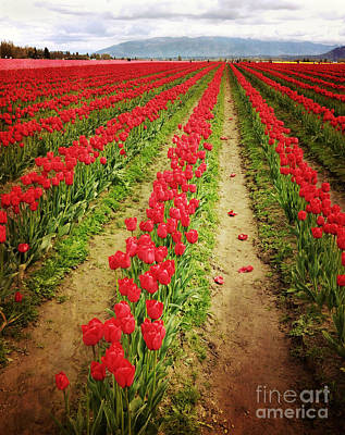 Photograph - Field Of Red Tulips With Drama by Maria Janicki