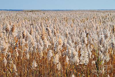 Photograph - Field Of Reeds by Sharon Woerner