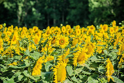 Photograph - Field Of Sunflowers by Cheryl Baxter