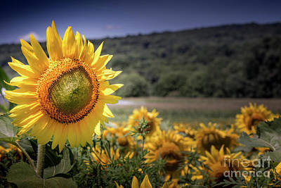 Photograph - Field Of Sunflowers by Jim DeLillo