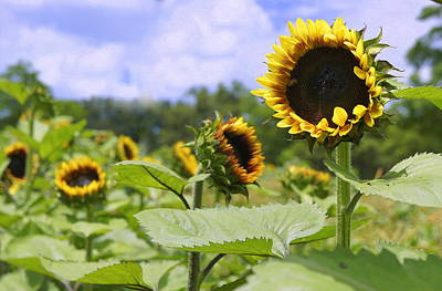 Photograph - Field Of Sunflowers by Laurie Perry