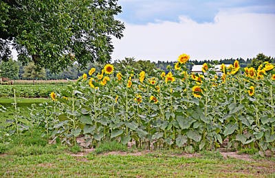 Photograph - Field Of Sunflowers by Linda Brown