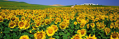 Field Of Sunflowers Near Cordoba Art Print by Panoramic Images