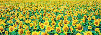 Flower Blooms Photograph - Field Of Sunflowers by Panoramic Images
