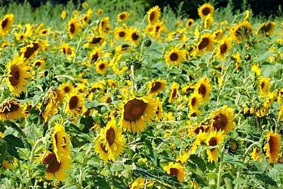 Field Of Sunshine Art Print by Melissa Davis