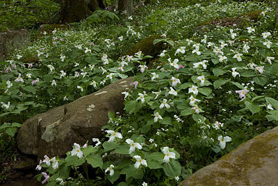 Photograph - Field Of Trillium 2841 by Peter Skiba