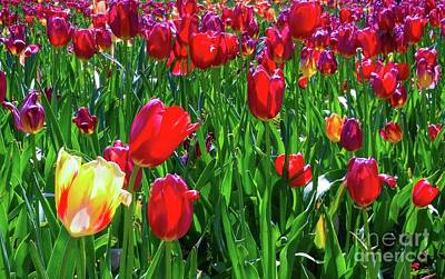 Photograph - Tulip Garden by D Davila