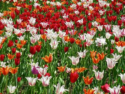 Photograph - Field Of Tulips by Stephanie Moore
