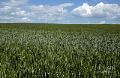Cornfields Photograph - Field Of Wheat by Bernard Jaubert