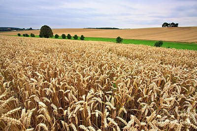 Cereal Photograph - Field Of Wheat by Nailia Schwarz