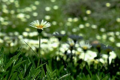 Photograph - Field Of White Daisies by Lynda Anne Williams
