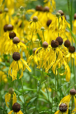 Photograph - Field Of Yellow Coneflowers by Maria Urso