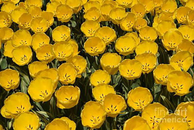 Photograph - Field Of Yellow Tulips by Jeannie Rhode