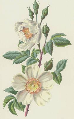 Field Rose Print by Frederick Edward Hulme