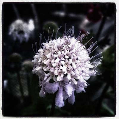 Photograph - Field Scabious. A Member Of The by Jim James