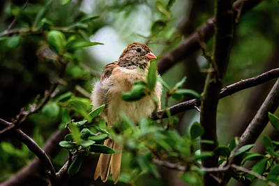 Photograph - Field Sparrow Sitting Pretty by Debra Martz