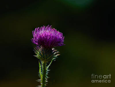 Photograph - Field Thistle by Roger Monahan